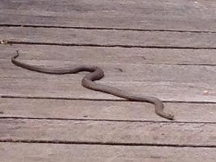 Supplied Editorial Caption: Brown snake in Waterfall Gully Rd backyard
