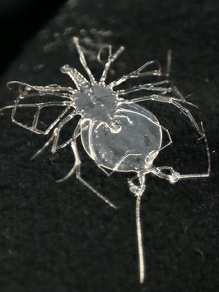 A four-month-old rock lobster larvae.