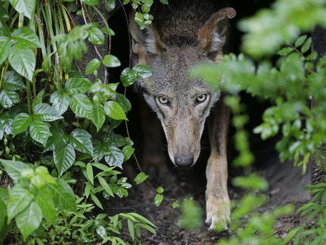 A female red wolf emerges from her den near Durham, North Carolina. Wolves had no need of adapting their facial muscles to please humans. Picture: AP Photo/Gerry Broome