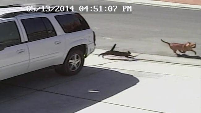VIDEO: Hero cat saves the day
