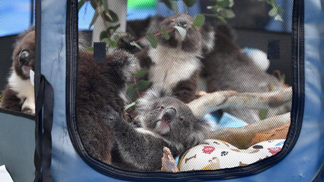 Orphaned Baby koalas in their pen at Paradise Primary school in Adelaide set up Adelaide Koala Rescue. Picture: Mark Brake/Getty Images