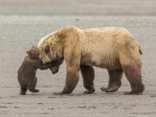 Bear hug by Ashleigh Scully showing a young bear cub wrestling its mum.
