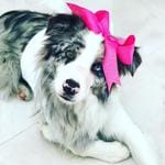 Finn the Border Collie getting dressed up by his sisters. Photo Gabby Kerr