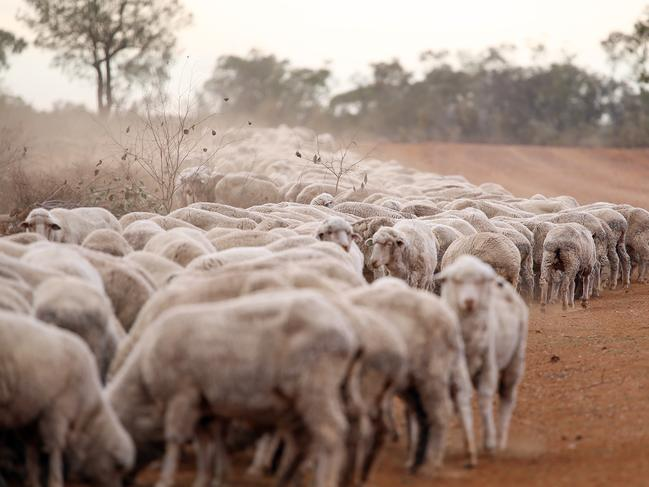 Sheep on the farm of James Foster, 90km west of Walgett, pictured eating anything they can find on the side of the dirt road. Picture: Sam Ruttyn