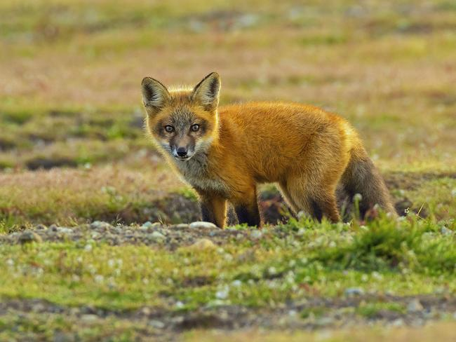 The fox, a little shaken, seemed OK after the encounter. Picture: Kevin Ebi/Caters News