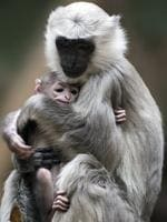 Gray langur mother Sally holds her baby in its enclosure in Berlin's Zoo. Picture: AFP