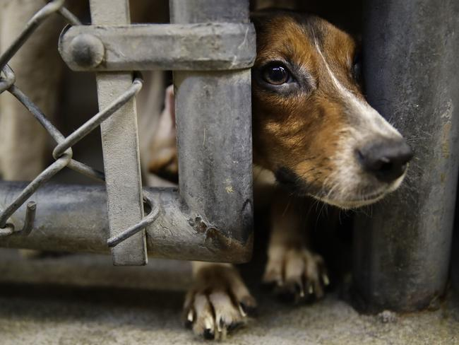 A rescued beagle peers out from its kennel at the The Lehigh County Humane Society. Picture: AP