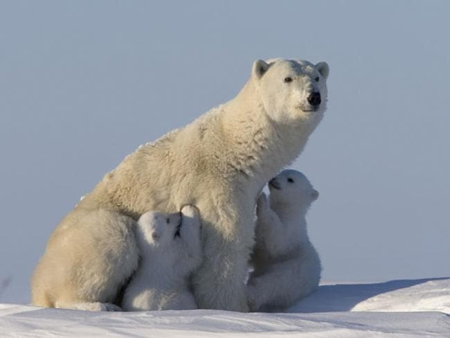 Giant polar bears patrol the remote Siberian wilderness of northeast Russia. Picture: NDR Naturfilm/ Parthenon Entertainment