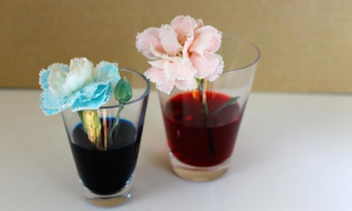"5. Colourful flowers science experiment  <p>Do the words 'capillary action' take you back to high school biology class? Time to share your 'knowledge' with your kids. It takes about two hours to happen, so set it up and try one of the other faster experiments while you're waiting. Leave it overnight for the most impressive colour. Any white flowers from your garden (or the neighbours') will do.<a href=""http://www.kidspot.com.au/things-to-do/activities/colourful-flowers-experiment"">Find out more about the colourful flowers science experiment here.</a></p>"