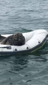 Cheeky seal lounges around inside rubber boat. Credit: Ronnie Huddleson