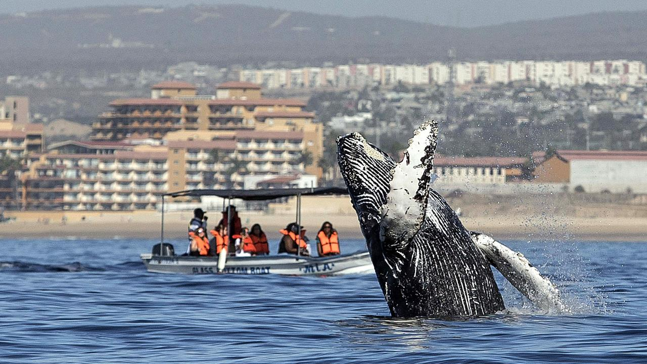 A humpback whale jumps out of the Pacific Ocean off the coast of Mexico. Picture: AFP