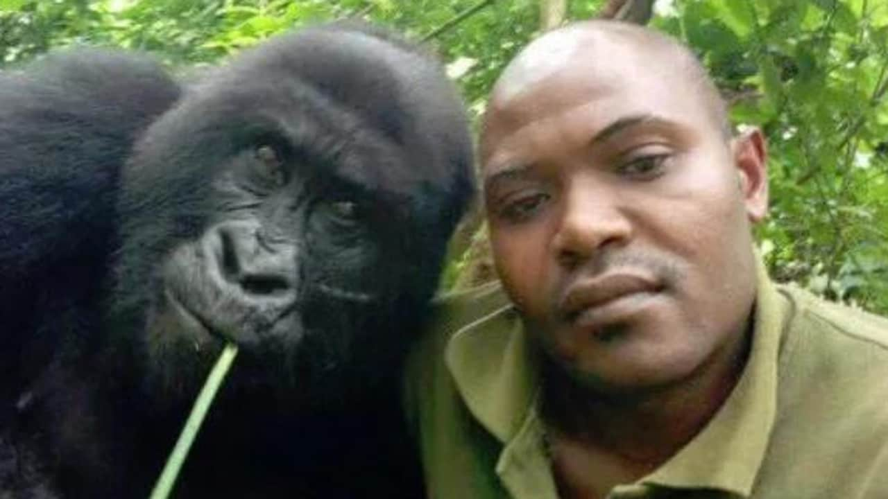 Selfies together: an adult mountain gorilla and one of the rangers who works to protect this endangered species. Picture: Facebook