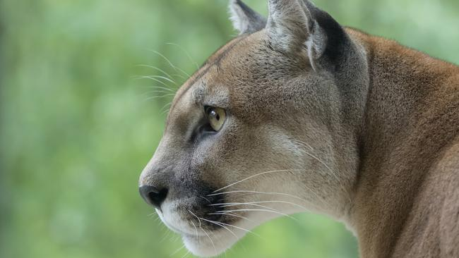 A mountain lion. Picture: iStock