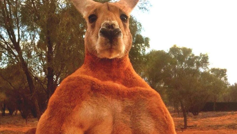 This Could Be Australias Toughest Kangaroo