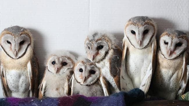 Six orphaned barn owls rescued on an Auburn property were taken into care at Minton Farm Animal Rescue Centre at Cherry Gardens. Pic Tait Schmaal.