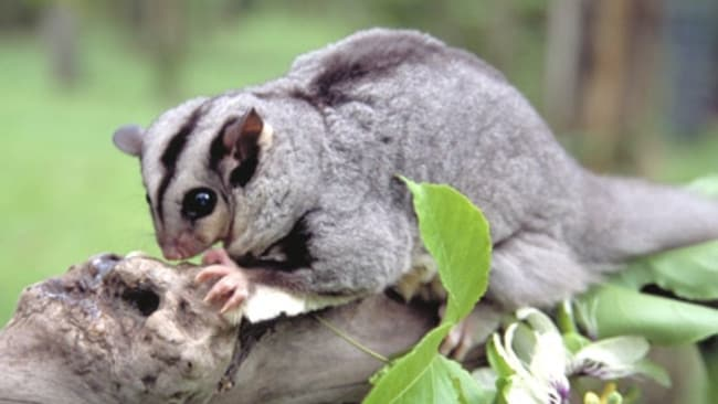 The Mahogany glider, which is in danger of dying out.