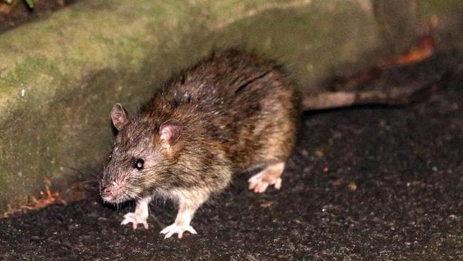 Coronavirus: Rats are on the rise as COVID-19 shutdowns cuts their ...