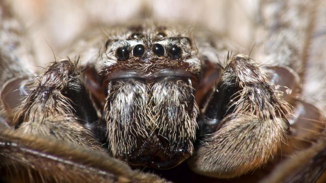 A hairy huntsman. Picture: iStock.