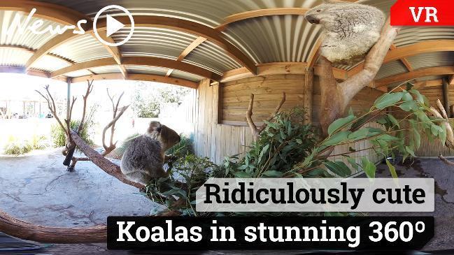 Koalas in 360 video