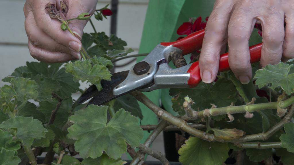 The geranium is just one of many plants that benefit from a good summer prune. Picture: Fawcett Media