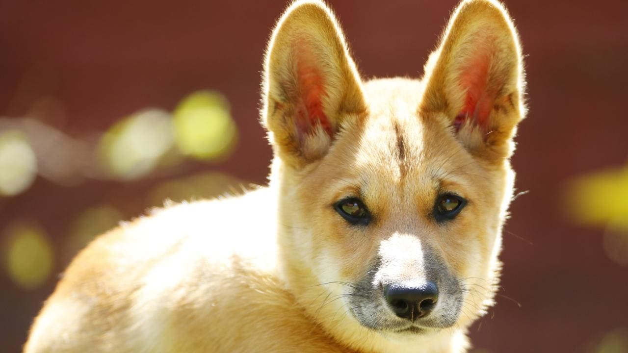 Dingoes are helpful in controlling pests like feral cats and foxes. Photo Lachie Millard