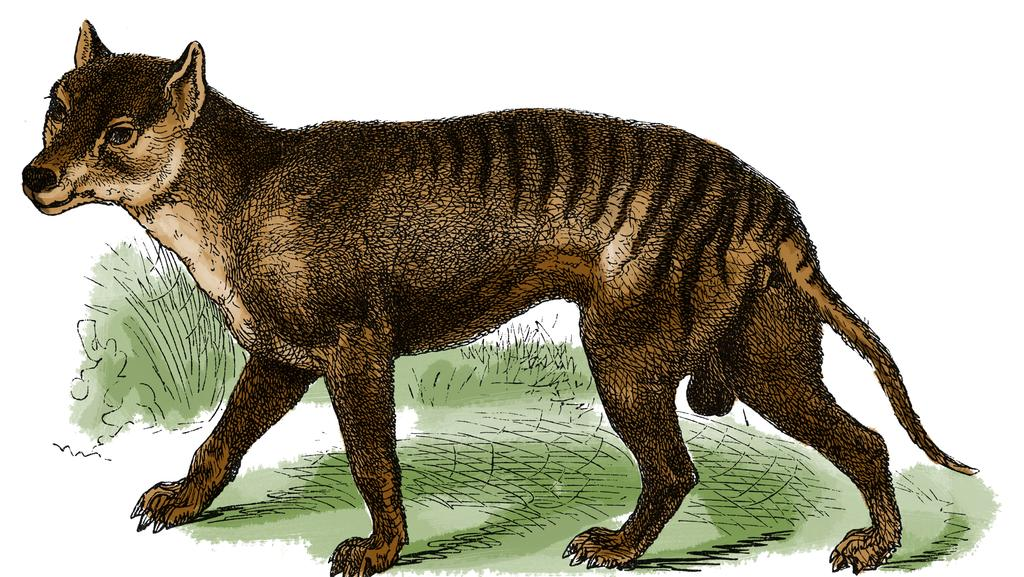 Tasmanian Tiger Believers Share Images Of Sightings Adelaide Now