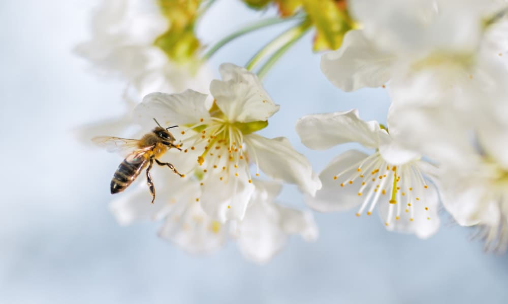 Carniolan honey bee pollinating a cherry blossom.