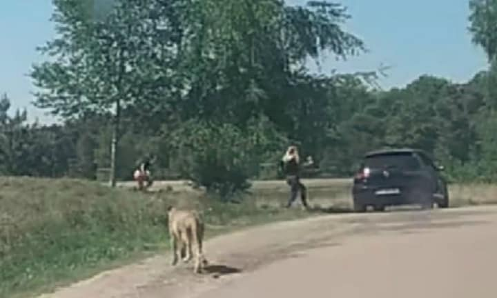 Family with young children chased by cheetahs at safari park