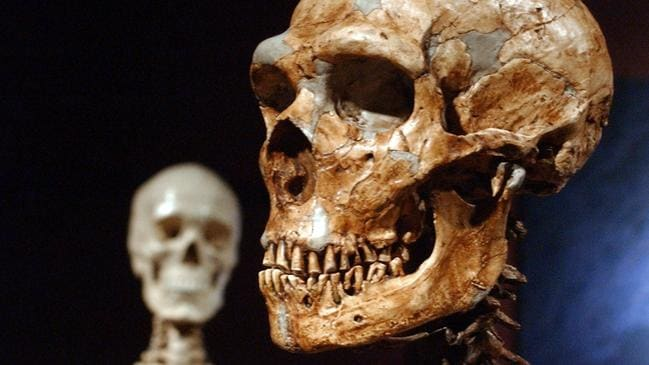 A reconstructed Neanderthal skeleton, right, and a modern human version of a skeleton, left, on display at the Museum of Natural History, New York in 2003. Picture: AP