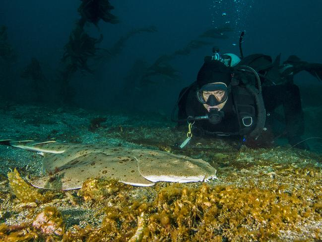 A diver encounters a rare angel shark in the Channel Islands.
