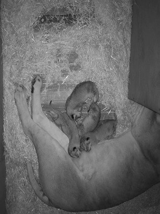 The cubs are suckled by their mum, Husani. Picture: Monarto Zoo