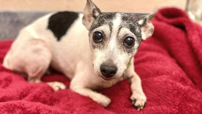 Dutchess has been returned to her family, 12 years after she went missing. Picture: Humane Animal Rescue via AP