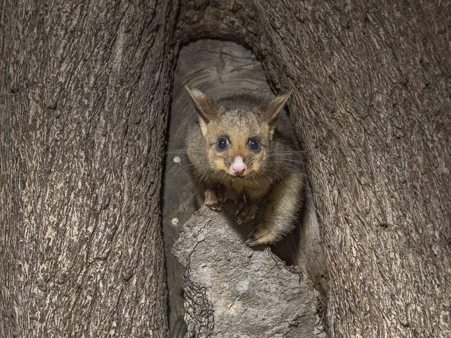 Possums Come Out To Play In Melbourne Suburb Hotspots