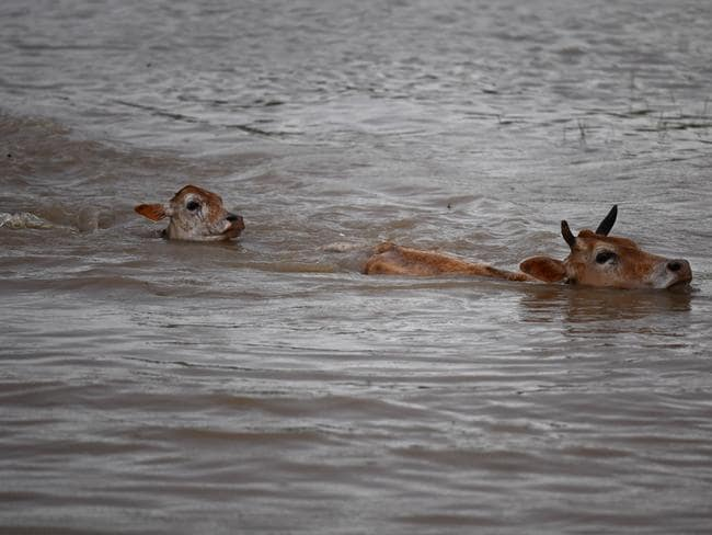 Cows swim through floodwater in search of grazing land in the Hojai district. Picture: AFP