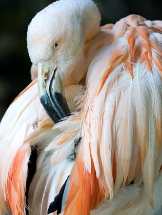 Chile the flamingo was aged in her late 60s. She was a zoo favourite. Picture: AAP