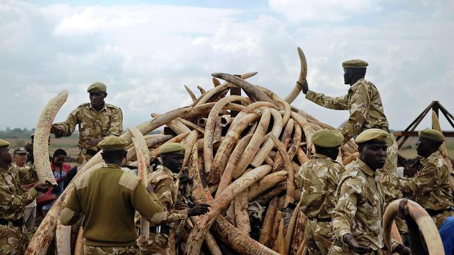 Kenya wildlife rangers piling up elephant ivory onto a pyre, at Nairobi's national park in preparation for a historic burning of tonnes of ivory, rhino-horn and other confiscated wildlife trophies. The price of ivory has fallen by nearly two-thirds in the last three years, according to research conducted in China and published on March 29, 2017 by the conservation group Save the Elephants. Picture: Tony Karumba