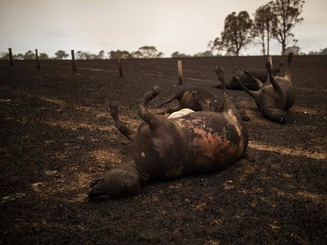 A number of Mr Shipton's cows lay dead after a New Year's Eve bushfire killed them. Picture: Sean Davey/AAP