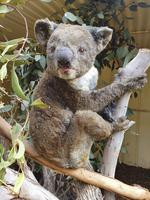 A rescued koala at the Kangaroo Island Wildlife Park Picture: Dana Mitchell/Kangaroo Island Wildlife Park