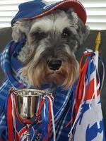 Miniature schnauzer Hamish, 8, loves to sit on the couch and cheer the Bulldogs on to a win! Picture: Yvonne Holt, Altona