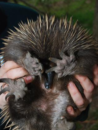 Vicky D the echidna is treated for burns at Healesville Sanctuary after the bushfires.