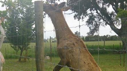 The deer that killed Paul McDonald on his property in Moyhu.