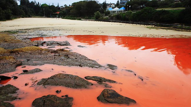 The red algal bloom at Clovelly beach. Picture: Craig Greenhill