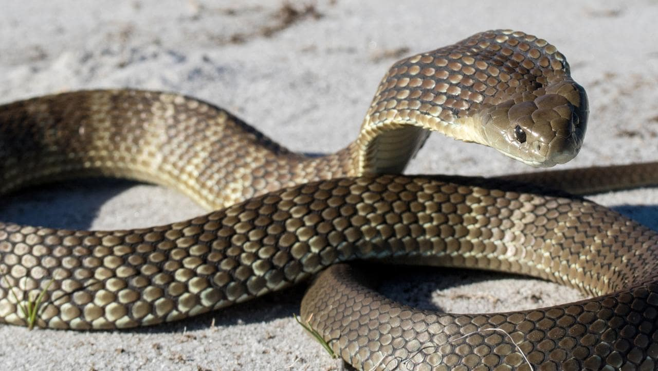 Elderly Tasmanian farmer killed by giant tiger snake