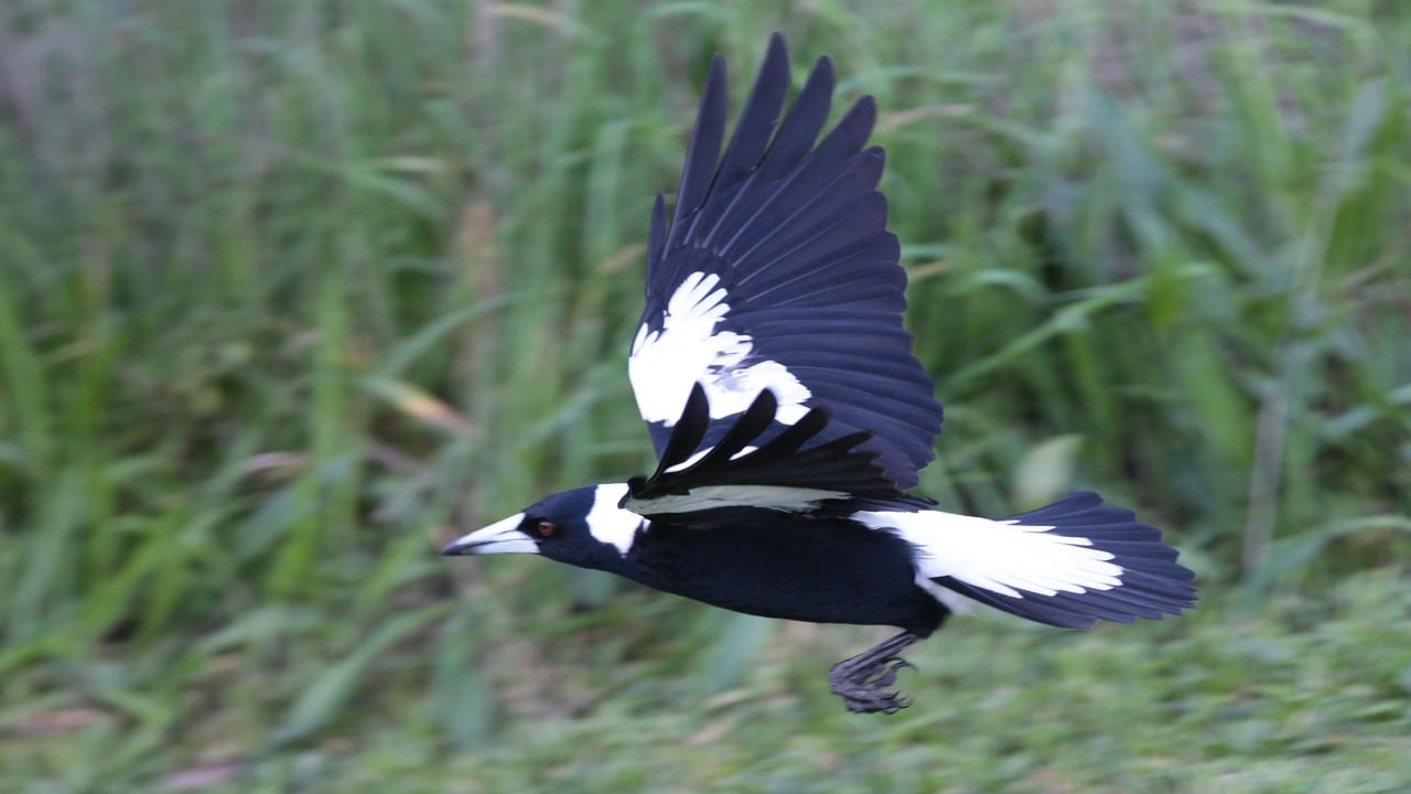 how to avoid getting swooped by magpies