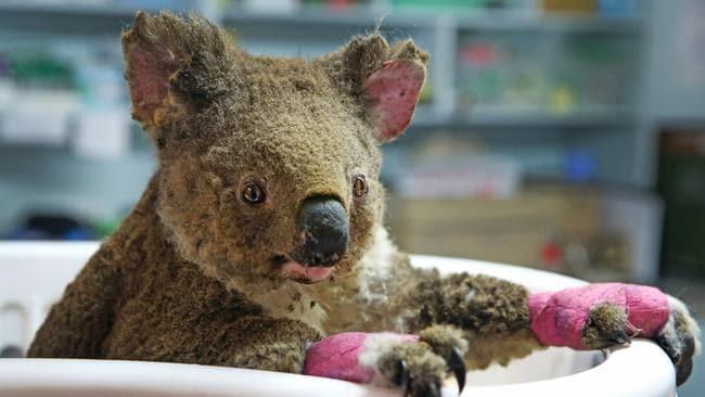 Female koala Anwen is being treated at the Port Macquarie Koala Hospital. Picture: Nathan Edwards.