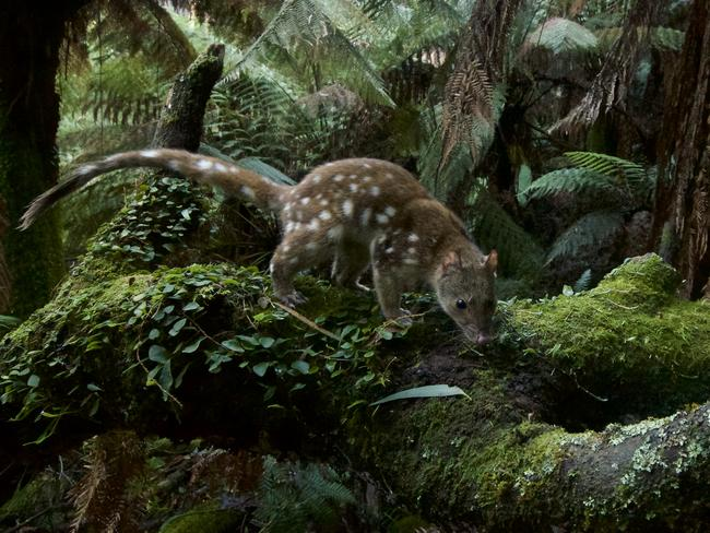 It was no easy task snapping this spotted-tailed quoll. Picture: Wildlife Photographer of the Year/David Gallan