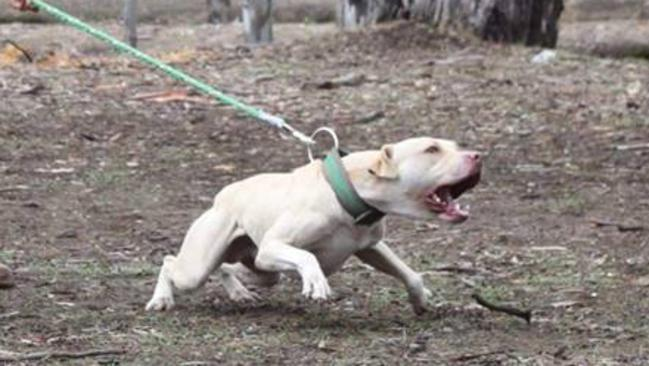 Dog fighting ring Queensland: Pitbulls used in brutal ring