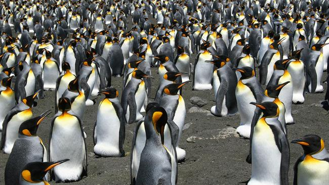 King Penguins from the Possession Island in the Crozet archipelago. Global warming is on track to wipe out 70 per cent of the world's King penguins by century's end, Picture: AFP / CNRS/IPEV/CSM/Celine Le Bohec