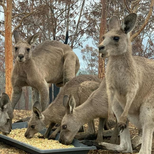 These are some of the kangaroos Ms Harvey is caring for on her ruined property.