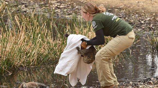 Ms Donithan picks up the injured animal to take to safety. Picture: Peter Parks/AFP